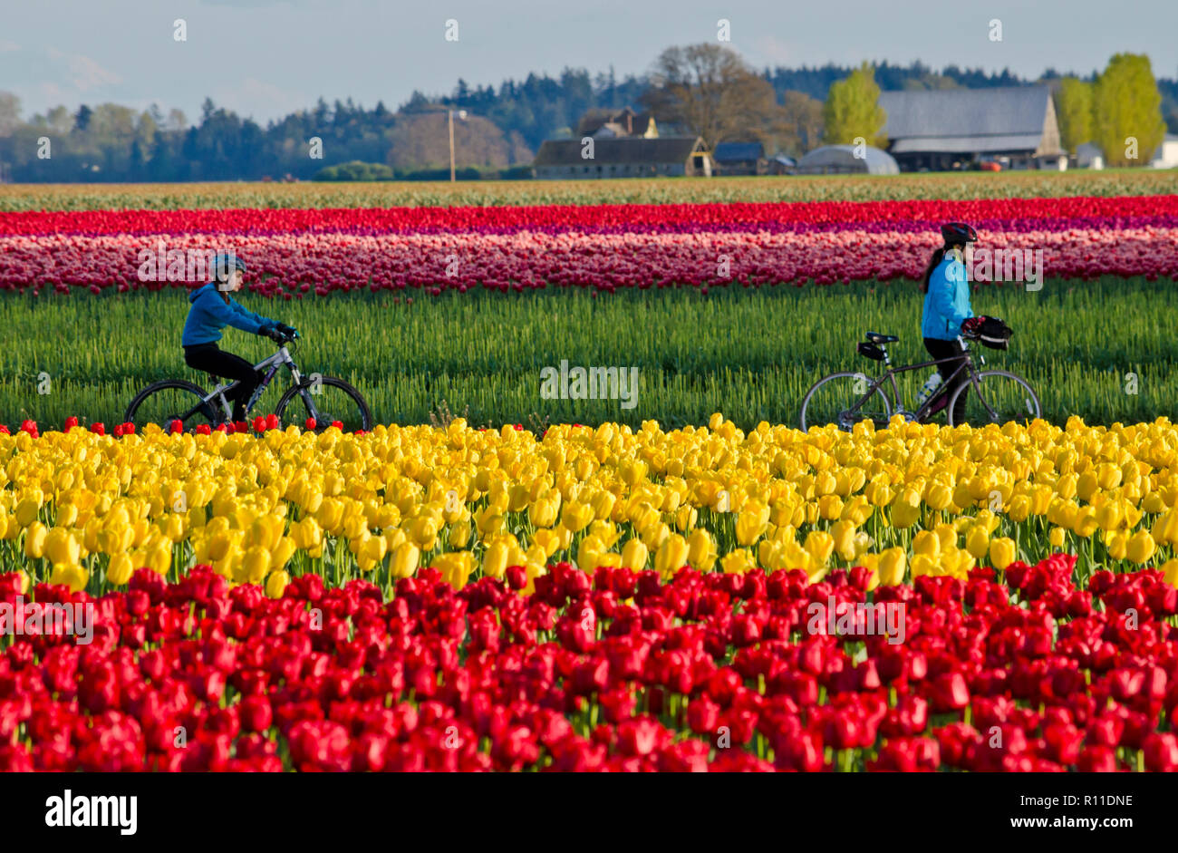 cyclists-riding-through-the-tulip-fields