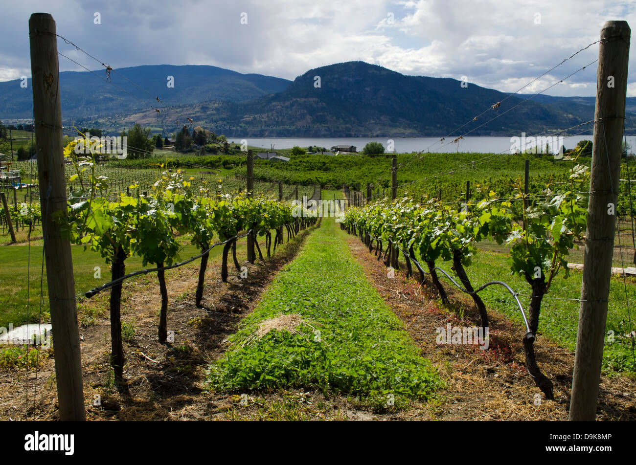 rows-of-grapevines-in-a-vineyard-lead-do