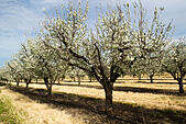 cherry-orchard-with-blossoming-trees-lin